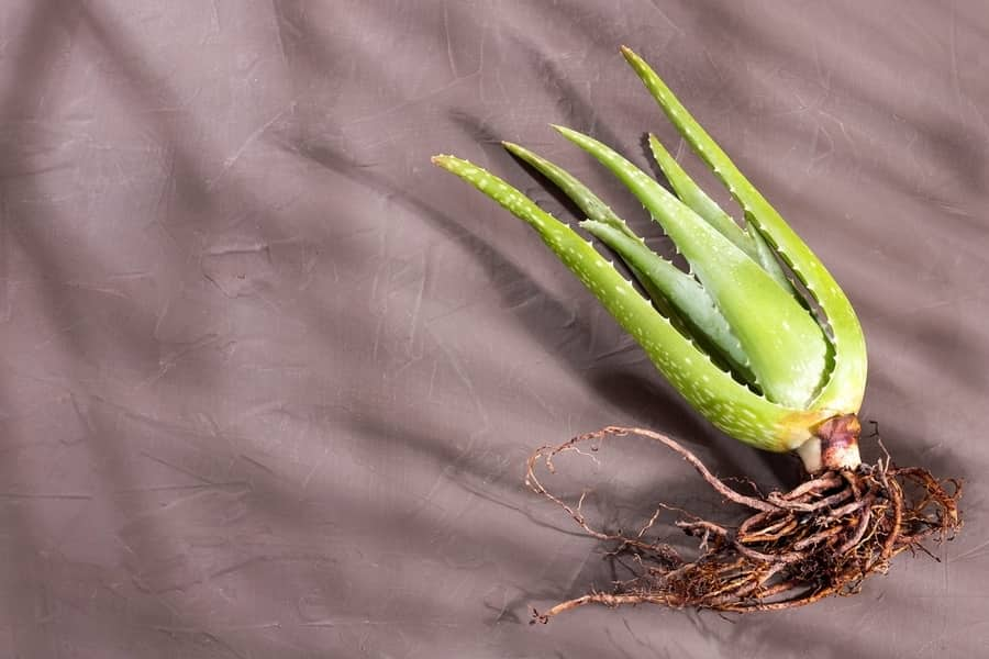 root rot disease of aloe
