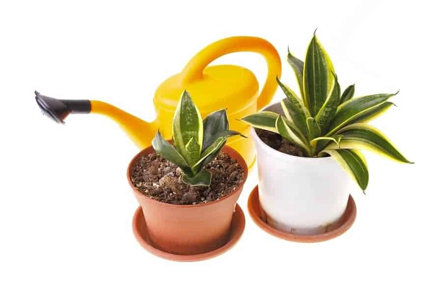 snake plant container and watering can