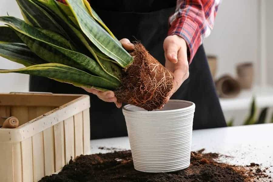 Repotting the snake plant into a fresh nutrient substrate