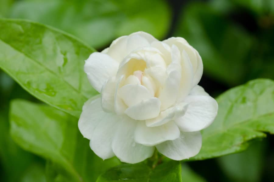 Arabian jasmine flower