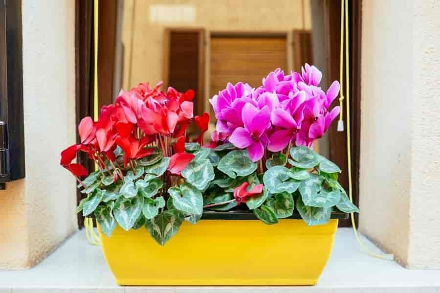 Cyclamen Flower in a container
