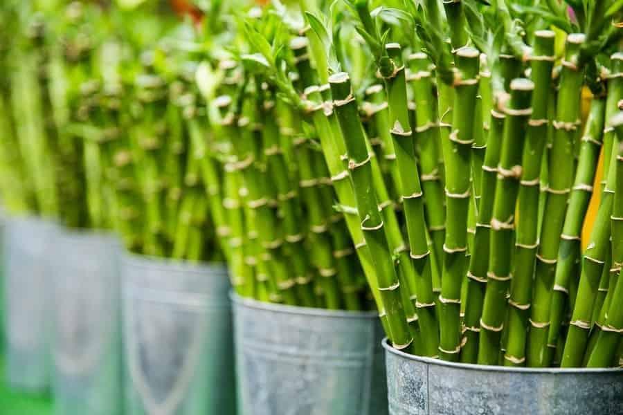 bamboo palm or Chamaedorea seifrizii