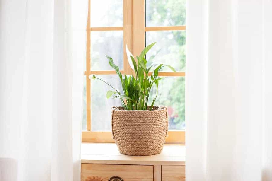 An indoor peace lily plant  in a container.