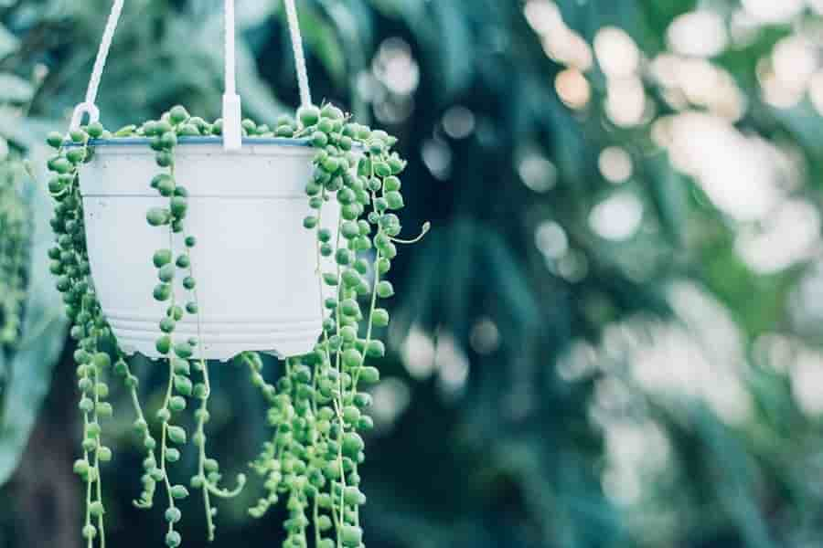 string of pearls succulent plant hanging in a container