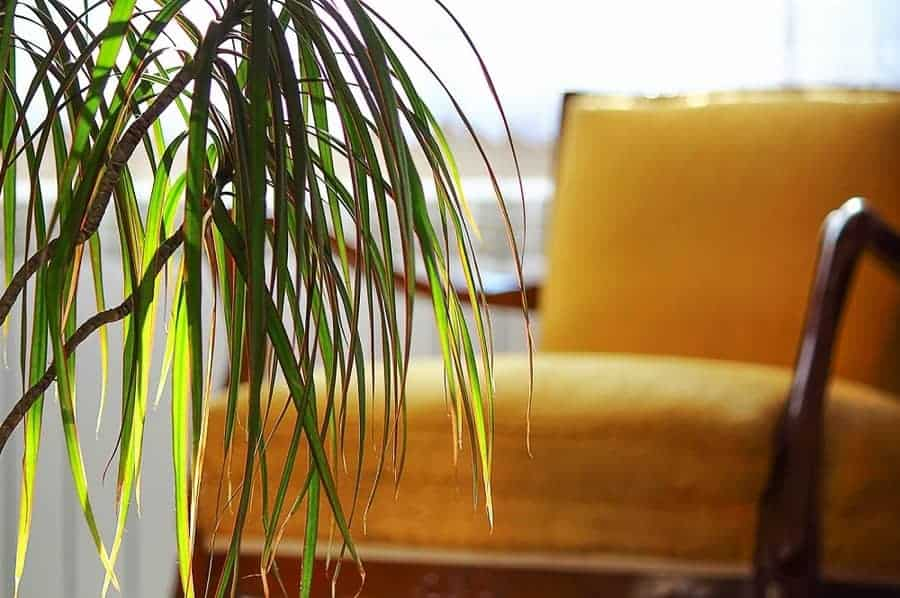Dracaena plant indoors with leaves.
