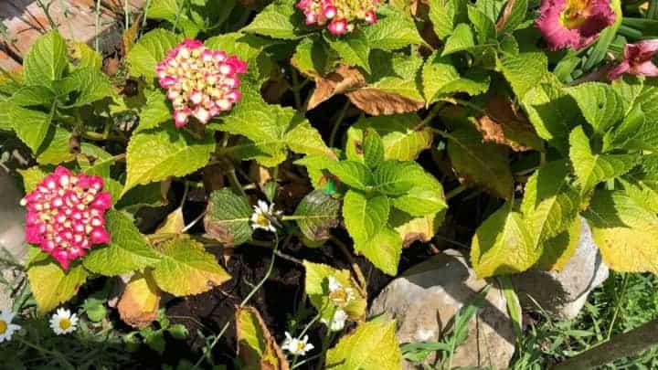 Excessive Sun Exposure causing hydrangea leaves to turn yellow