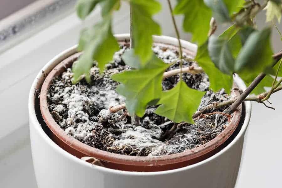 Mold on  houseplant soil.