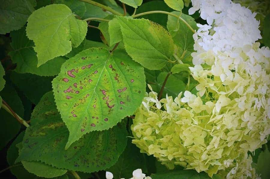 Hydrangea leaf color changes due to   chlorosis.