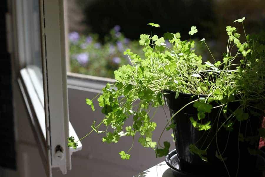 Indoor Parsley leaves growing in pot.
