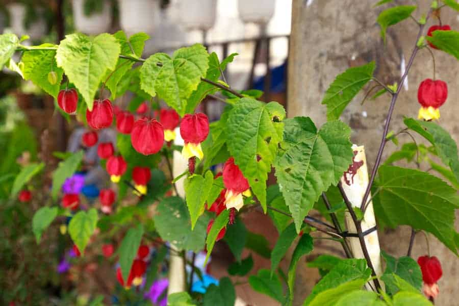 Abutilon plant with flowers