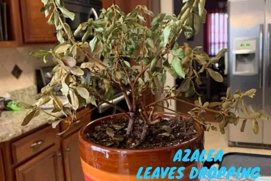Indoor potted azalea plant dropping leaves.