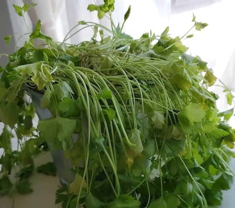 Indoor parsley leaves turning yellow and red