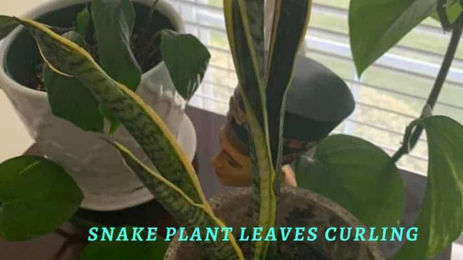 Indoor snake plant leaves curling up.