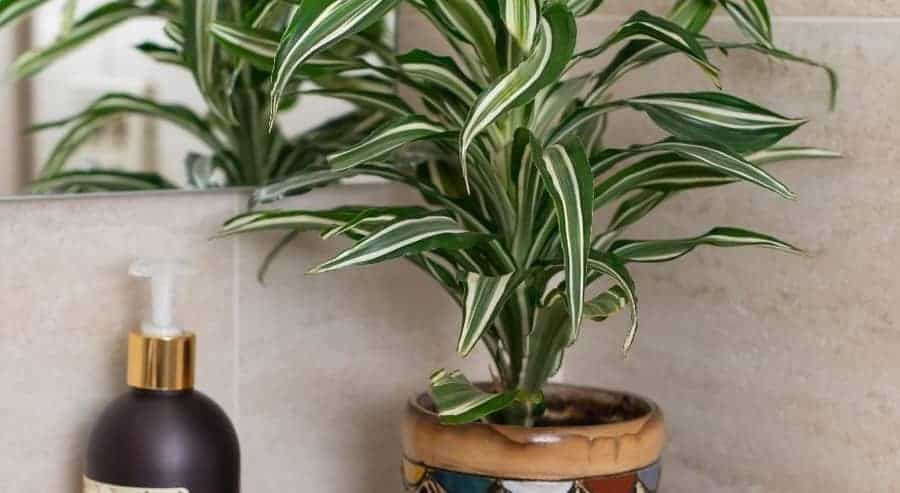 Indoor dracaena  plant in container.