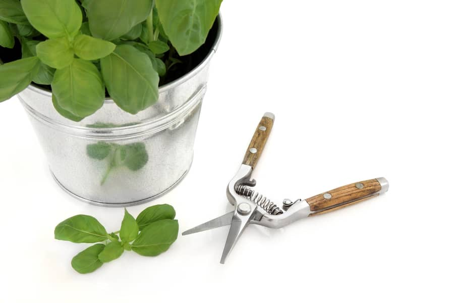 Indoor potted basil pinching. A potted basil plant and secateurs