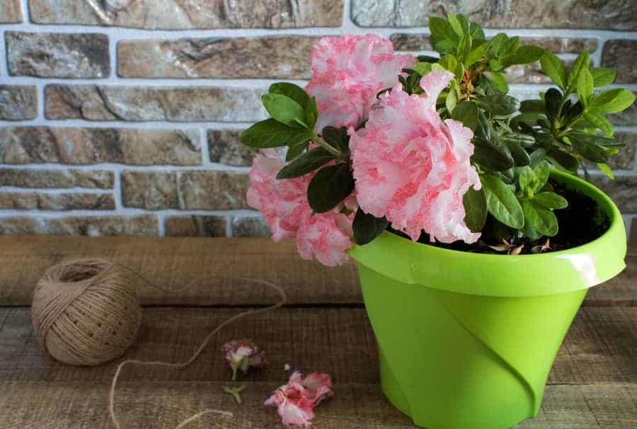Indoor beautiful  potted azalea blooming