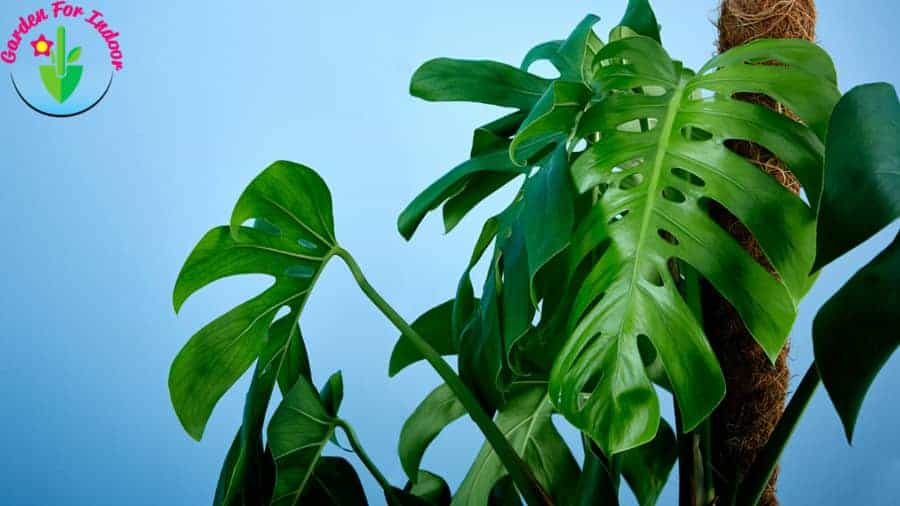 Beautiful Monstrea plant with rich green leaves.