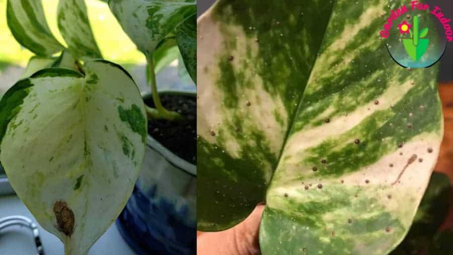 Showing brown spots on indoor  pothos leaves