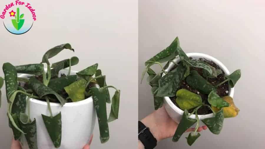 Indoor pothos showing root rot symptoms.