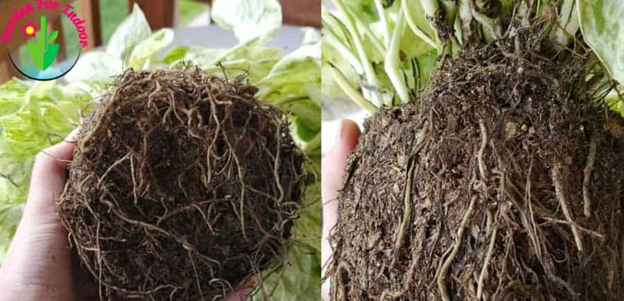 Pothos root is soft and brown which is symptoms of root rot