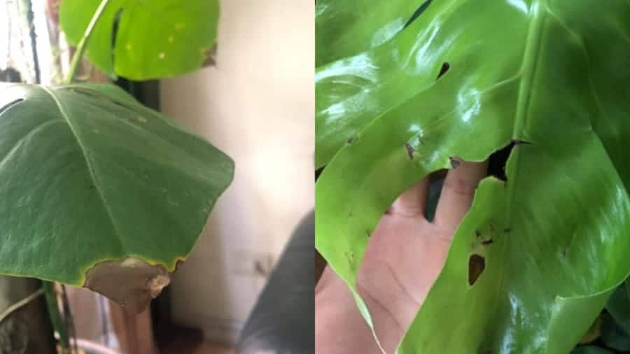 Monstera plant leaves turning brown due to improper care