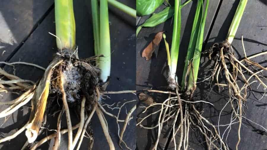 Indoor peace lily root inspection. Roots are affected with root rot disease.