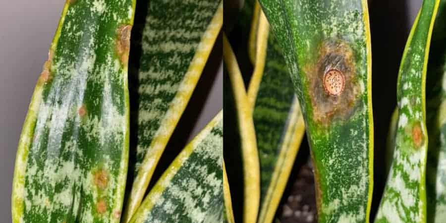 Snake plant showing brown spots symptoms due to fungal infection.