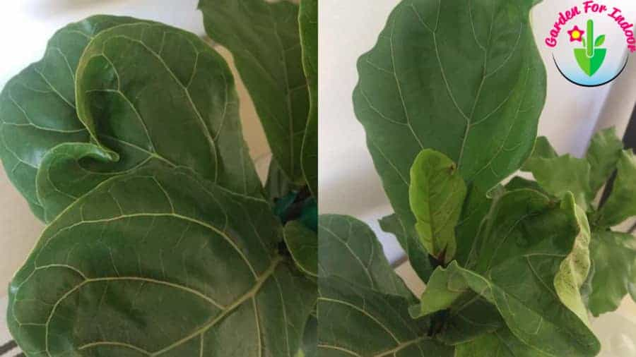 Indoor potted Fiddle Leaf Fig Leaves Curling