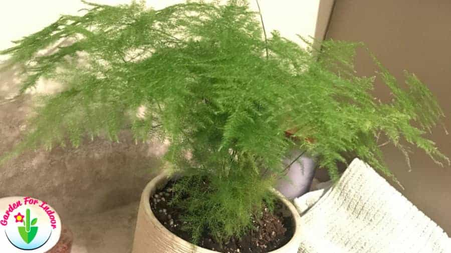 Indoor Plumosa fern growing in pot