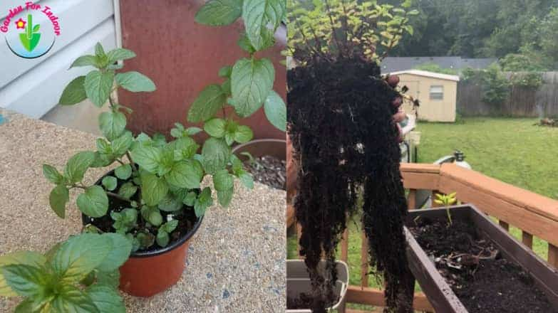 Indoor potted mint plant and the depth of its root system