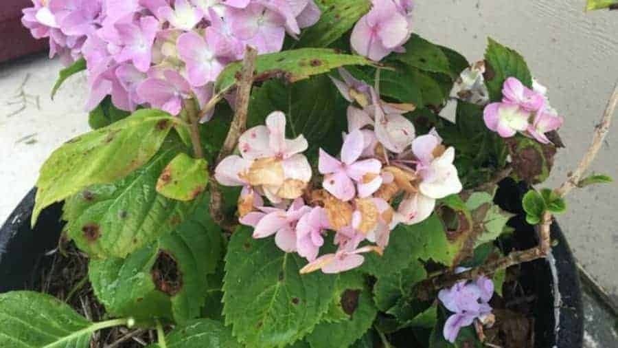 Potted indoor hydrangea showing root rot symptom