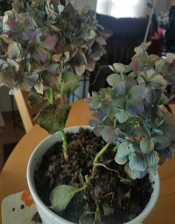 Signs of overwatered hydrangea