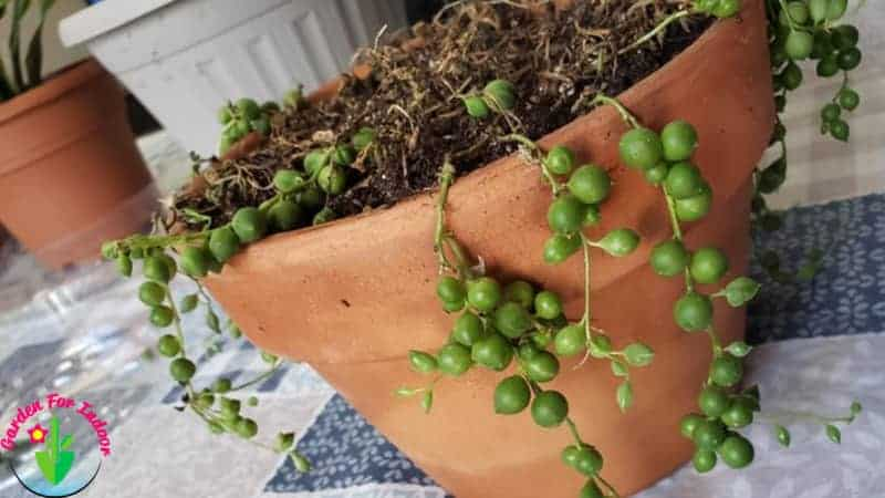 Potted over watered string of pearls