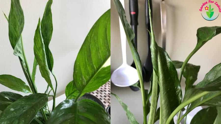 Indoor potted peace lily leaves curling.