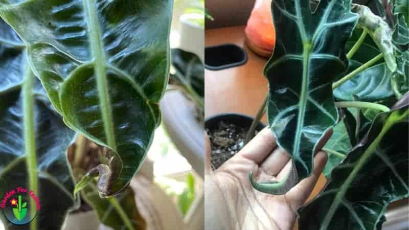 Indoor alocasia plant leaves curling.