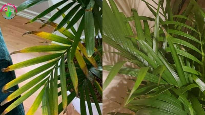 Indoor cat palm leaves have brown tips.