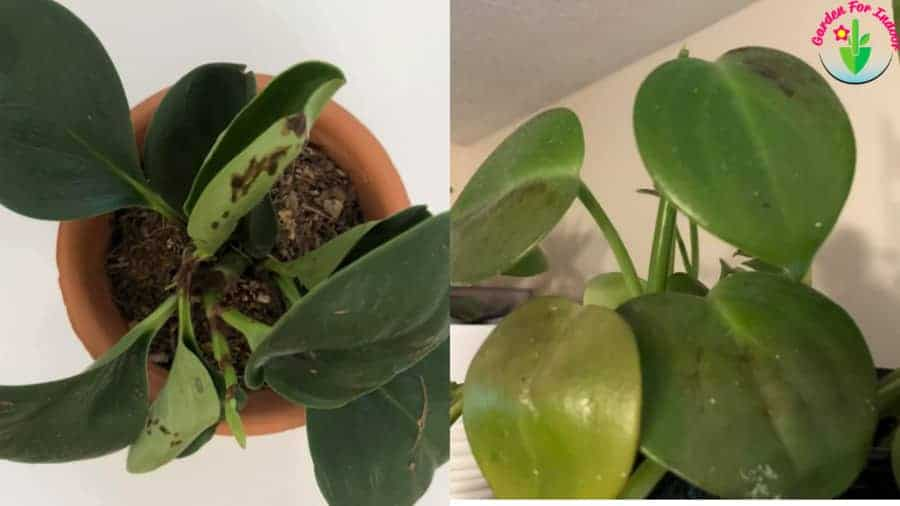 Indoor potted overwatered peperomia showing symptoms
