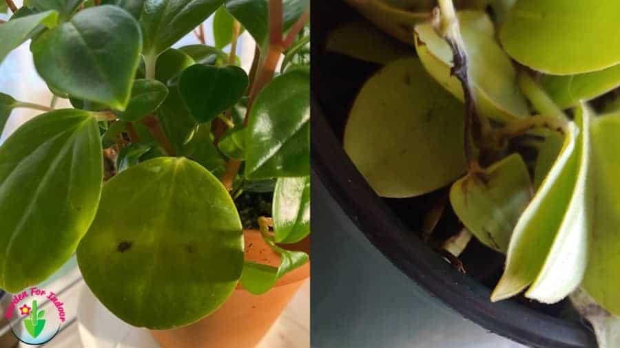 Peperomia Leaves Turning Black