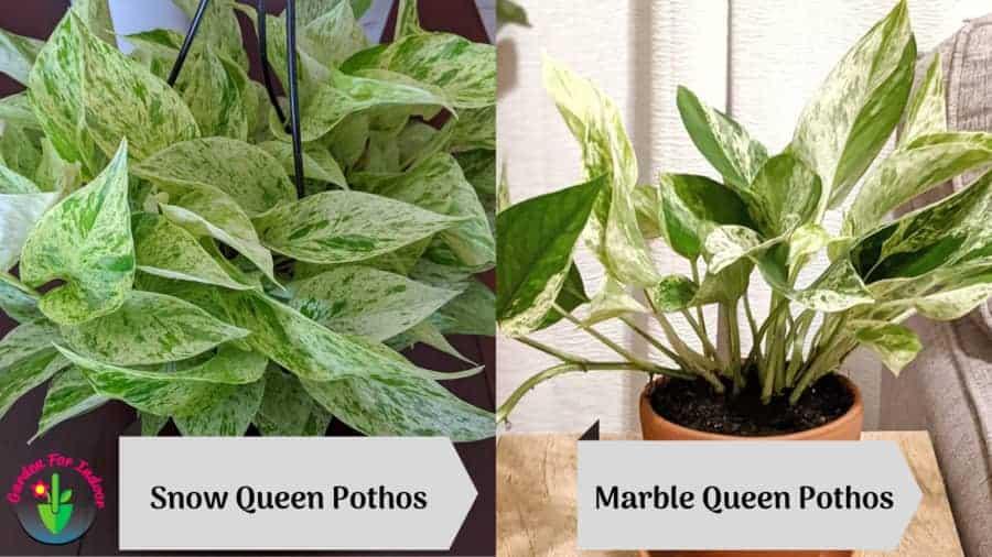 Image showing Snow-Queen-vs-Marble-Queen-Pothos