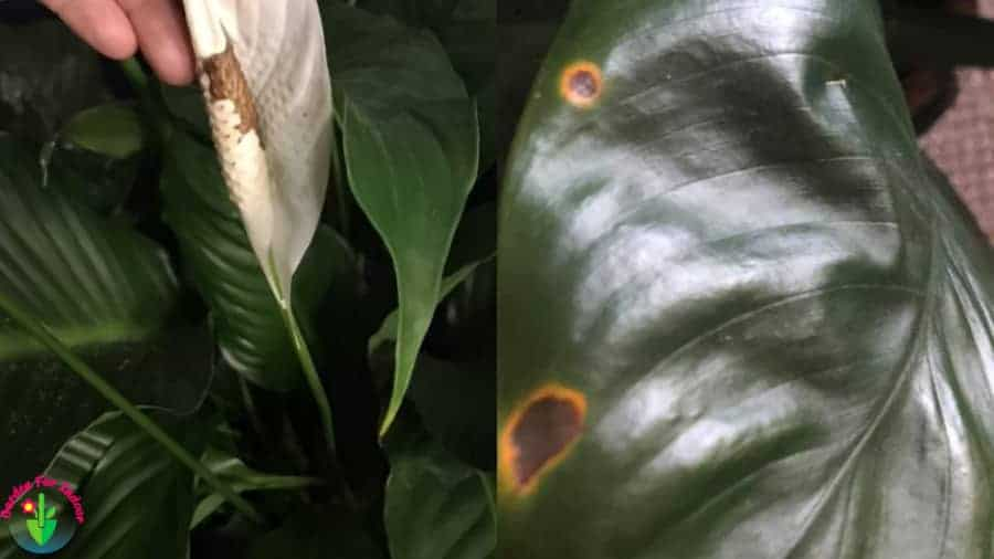 Indoor peace lily showing brown spots symptom
