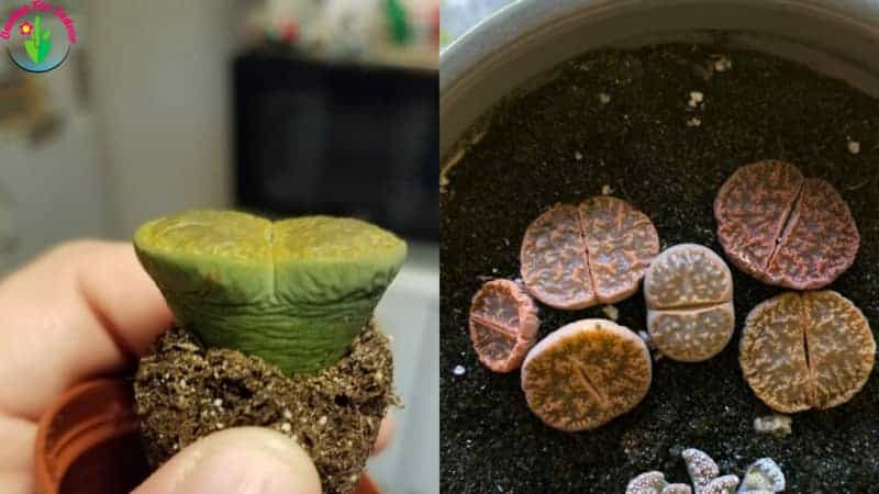 Potted lithops showing overwatered symptoms
