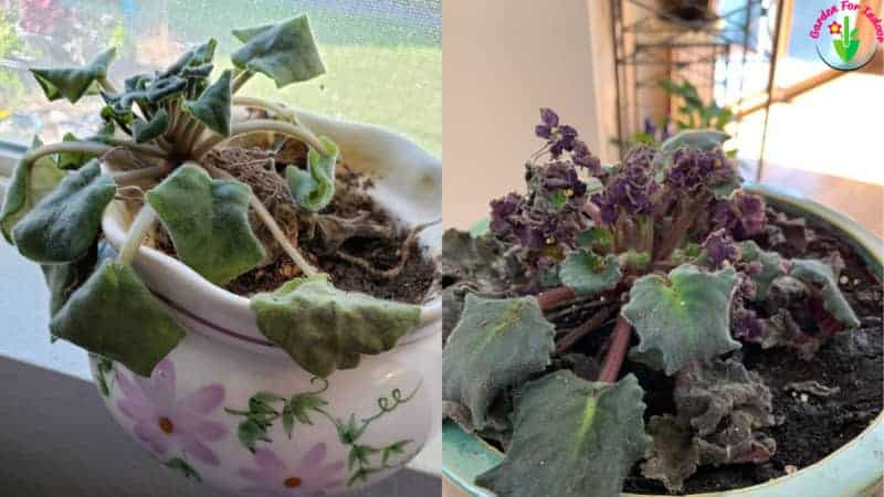 Indoor potted african violet showing overwatered symptoms