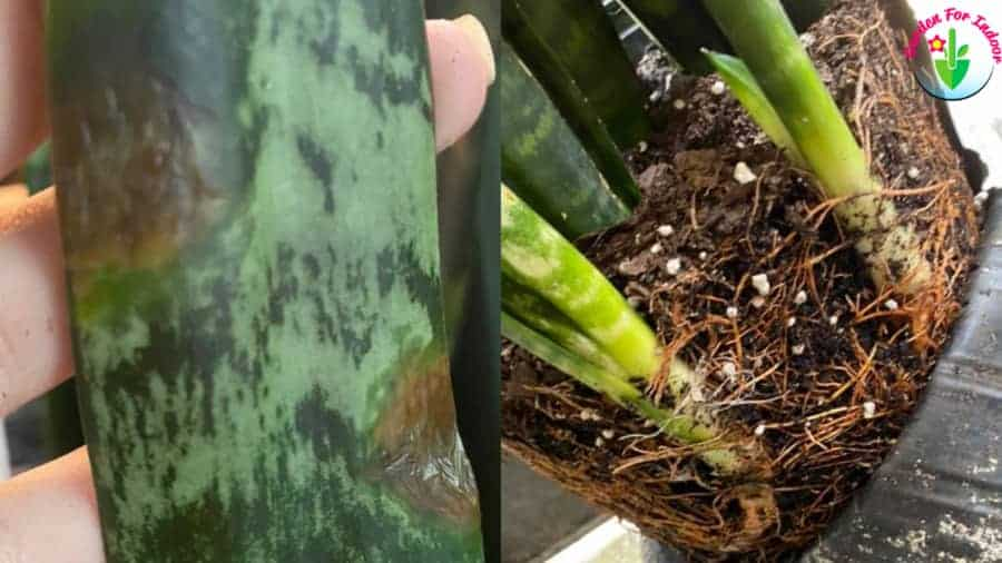 Indoor potted snake plant showing root rot symptom
