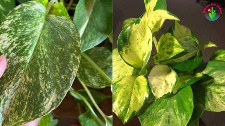 Indoor pothos leaves turning white.