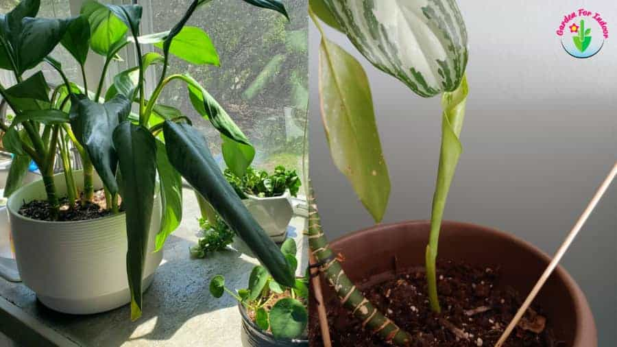 Potted chinese evergreen plant leaves curling