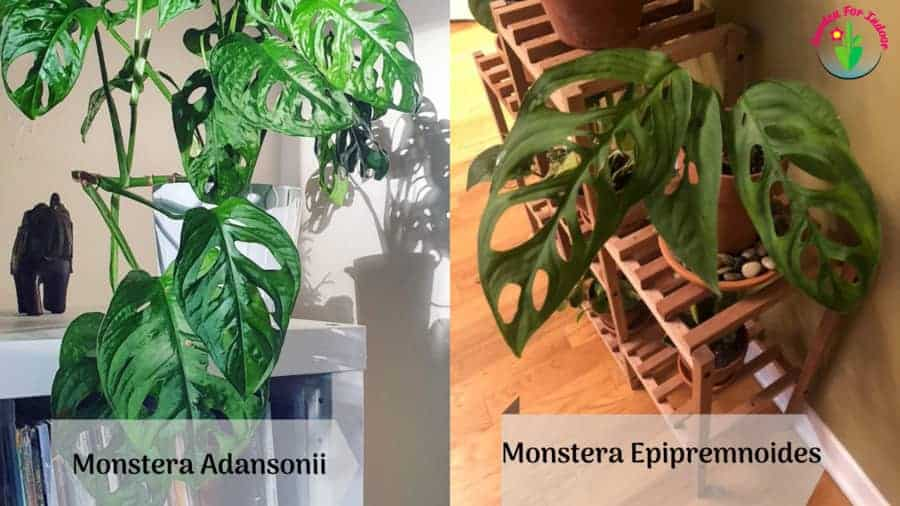 Image showing Monstera Adansonii Vs Epipremnoides differences