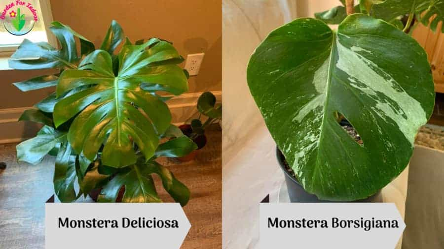 The image showing Monstera Deliciosa Vs. Borsigiana (Differences and Similarities)