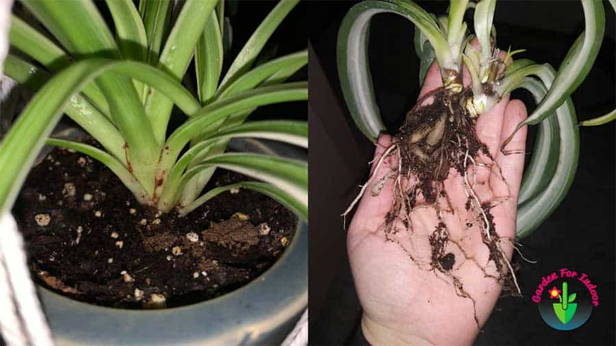 Indoor potted spider plant showing root rot symptoms