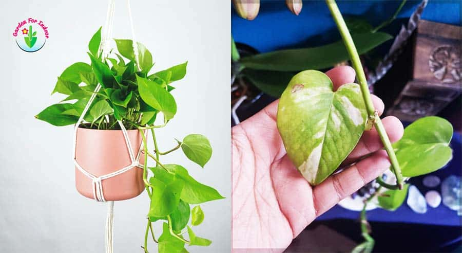 This image is showing the small leaves of Pothos.