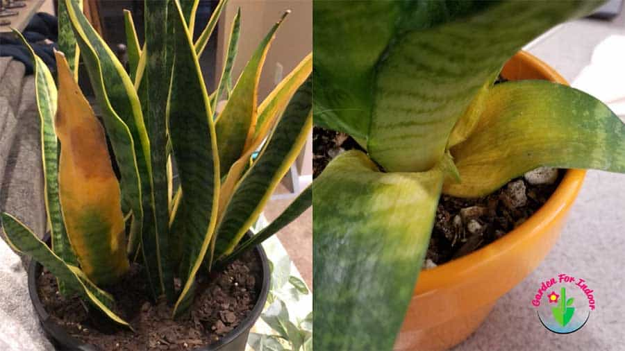 This image showing the yellow part of Snake Plant